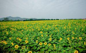 Cánh đồng hoa hướng dương xã Nghĩa Đàn, Nghệ An