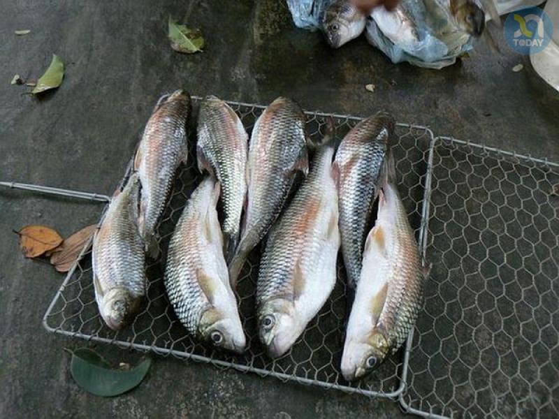 Cá mát Sông Giăng