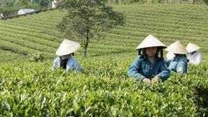 Thu hoạch chè tại Hùng Sơn