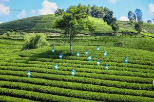 Thiếu nữ tạo dáng chụp ảnh trên đồi chè Hùng Sơn