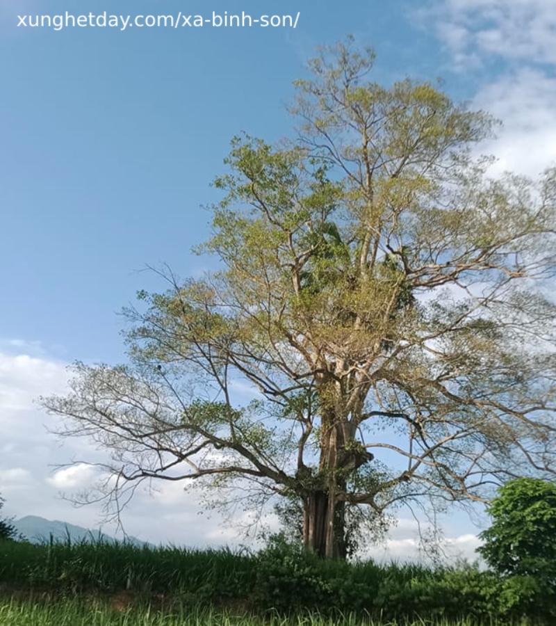 Cây đa thôn Tân Cát xã Bình Sơn