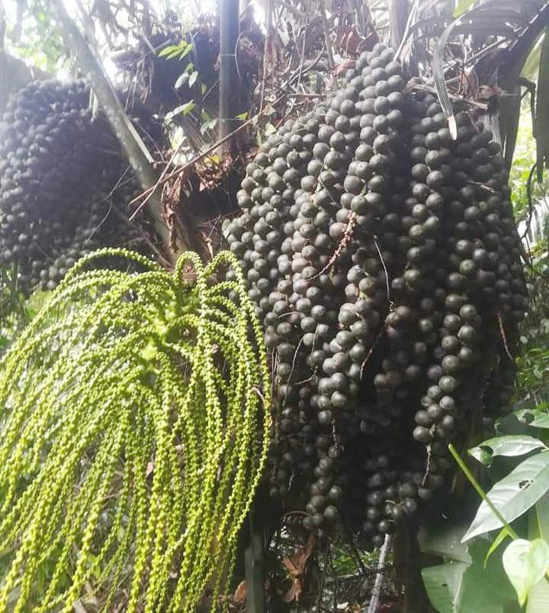 Hạt đác rừng Nghệ An