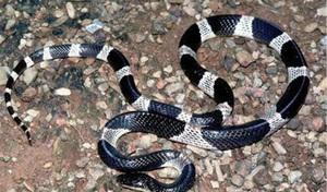 Cô gái 21 tuổi bị rắn cạp nia cắn tử vong khi đang ngủ